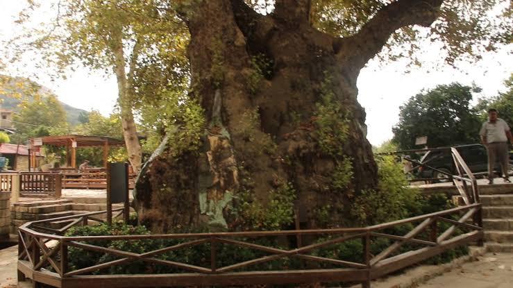 Hıdır Bey Musa Ağacı